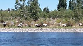 Fluss und Ziegen Lizenzfreies Stockfoto