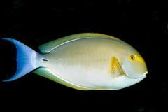 Flussbarsch-Chirurg-Fische (Acanthurus xanthopterus) Stockbild