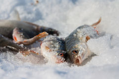 Flussfisch liegt auf Schnee. Winterfischen Lizenzfreie Stockfotos