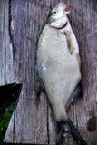Flussfische über altem hölzernem Lizenzfreies Stockbild