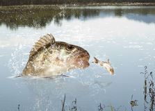 Flussfleischfresser Stockbilder