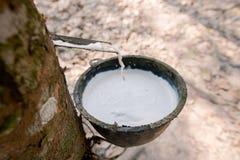 Flussi bianchi freschi del latice di gomma dall'albero di gomma Nella tazza nella piantagione di gomma fotografia stock libera da diritti