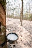 Flussi bianchi freschi del latice di gomma dall'albero di gomma Nella tazza nella piantagione di gomma fotografie stock libere da diritti
