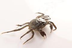 Flusskrabbe--eine Art chinesische Krabbe Stockfotos