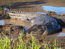 Flussmündungs- Leistenkrokodil, Crocodylus porosus Lizenzfreies Stockfoto