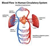 Flusso sanguigno in apparato circolatorio umano Immagini Stock
