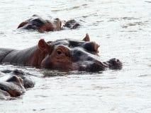 Flusspferd Lizenzfreie Stockfotos