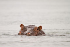 Flusspferd Lizenzfreies Stockbild