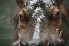 Flusspferd 2 Lizenzfreies Stockbild