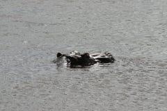 Flusspferd Lizenzfreies Stockfoto