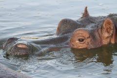 Flusspferd Lizenzfreie Stockbilder