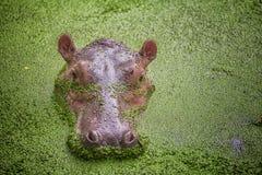 Flusspferd Lizenzfreie Stockfotografie