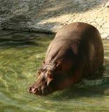 Flusspferd Stockfotografie