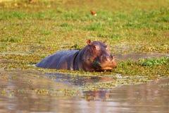 Flusspferd Стоковые Изображения
