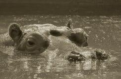 Flusspferd Stockfoto
