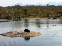 Flusspferd, das auf Insel steht Stockbilder