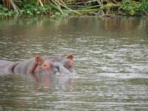 Flusspferd, das aus See heraus späht Lizenzfreies Stockbild