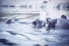 Flusspferd, das aus Wasser heraus lugt Uhrungetüm Nahaufnahme stockfotos