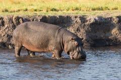 Flusspferd, das in Fluss geht Lizenzfreie Stockbilder