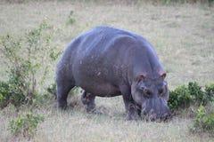 Flusspferd, das Gras auf der Savanne weiden lässt stockbild
