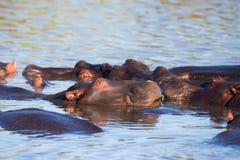 Flusspferd, das im Wasser Südafrika schläft Lizenzfreies Stockfoto