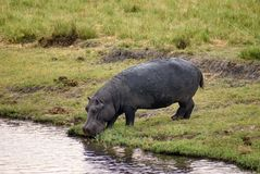 Flusspferd, das vom Fluss in Botswana trinkt lizenzfreie stockfotografie