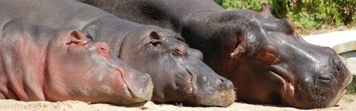 Flusspferd-Familie Stockbild