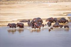 Flusspferd-Familie Stockfotos