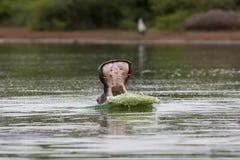 Flusspferd-Gegähne Stockbilder