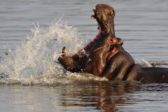Flusspferd (Hippopotamus amphibius) stockbilder