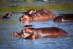 Flusspferd, Hippopotamus im Fluss. Serengeti, Tanzania, Afrika Stockbilder