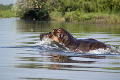 Flusspferd im Fluss Nil Lizenzfreie Stockfotografie