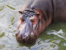 Flusspferd im Wasser Stockbild