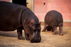 Flusspferd in Lissabon-Zoo Stockbilder