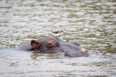 Flusspferd mit einem Vogel Stockfotografie