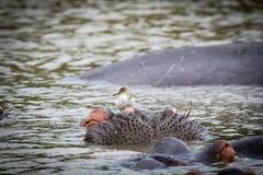 Flusspferd mit einem Vogel Lizenzfreie Stockfotos