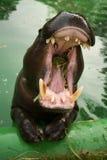Flusspferd mit geöffneten Kiefern Stockfotografie