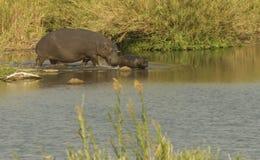 Flusspferd mit Jungem Stockbild