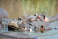 Flusspferd mit oxpecker Lizenzfreies Stockfoto
