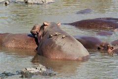 Flusspferd mit oxpecker Vogel Stockfoto