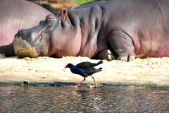Flusspferd mit Vogel Lizenzfreie Stockfotos