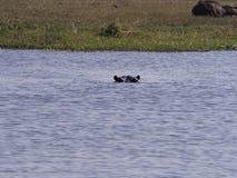 Flusspferd an Nationalpark Chobe Lizenzfreies Stockfoto