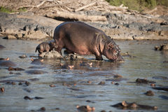 Flusspferd am Serengeti Nationalpark Lizenzfreies Stockfoto