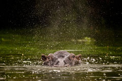 Flusspferd-Spritzen Südafrika Lizenzfreie Stockfotos