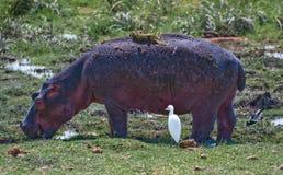 Flusspferd u. Vogel Stockbild