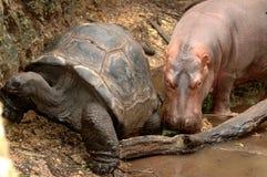 Flusspferd und riesige Schildkröte Lizenzfreies Stockbild