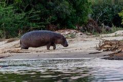 Flusspferd, welches aus das Wasser zur Zufuhr, Victoria Falls, Simbabwe herauskommt lizenzfreie stockfotos