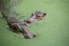 Flusspferd zwei Lizenzfreies Stockfoto