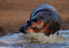 Flusspferdaufladung Stockfoto