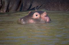 Flusspferdbaby in Südafrika St Lucia stockfotos